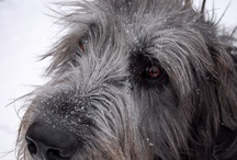 Irish Wolfhounds and Scottish Deerhounds  :) / by Clair Stockdale