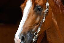 Cavalli ,attrezzatura ,abbigliamento western