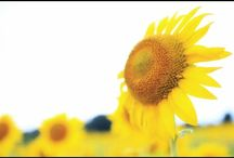 風を受けるヒマワリ。 the sunflower taking wind #sunflower #flowers #summer #ひまわり #向日葵 #花 #夏の風景写真