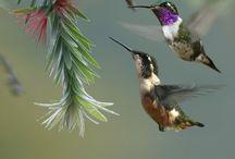 kolibrie / kolibrie