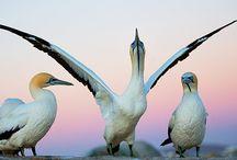 Gannets and Albatross