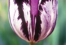 Semper Augustus / Tulip