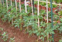 Coltivare pomodori / La coltivazione dei pomodori