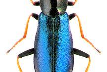 malachidae