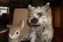 Cairn Terrier Pelle v.d. Seuten Snuddelbuddels