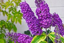 BUDDLEIA (Butterfly bush) / Buddleja, or Buddleia (also historically given as Buddlea) commonly known as the butterfly bush is a genus comprising over 100 species of flowering plants endemic to Asia, Africa, and the Americas. (Wikipedia)