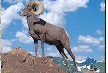 Ram - Big Horn