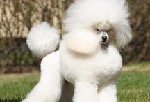 Poodles ♡