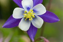Columbine (Aquilegia) / Another of my favourite plants. I had a bed filled with Columbine & Coral Bells - a beautiful combination  / by Christine Sinclair