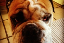 Our Mascot / Winston, our Bulldog. Isn't he just the cutest thing :-)