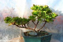 Sukulentní bonsaje