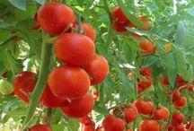 paradicsom és más növények