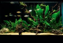 planted aquariums / Freshwater fish planted tanks  / by julie somerville
