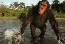Primate expert forwards chimpanzee's cry for help