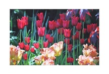Tulip Wrapped Canvas  / by Butterflies Are Blooming