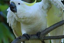 Cacatua / Il genere cacatua comprende diverse specie di pappagalli dalla colorazione prevalentemente bianca, ma anche rosata o nera, proveneienti dall'Australia e dalle isole dell'Oceano Pacifico
