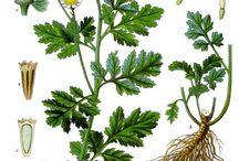 byliny obr