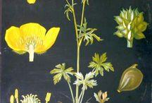 Ebba Masalin's (Finnish) Botanical illustrations