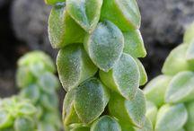 Suculentas / Peperonia Suculenta
