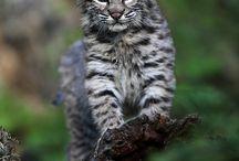 REF: Cats, Wild