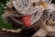 Bearded Dragons / Barties / Pets