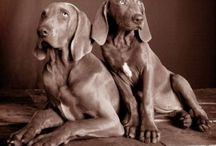 Weimaraners / by Leslie Wenner
