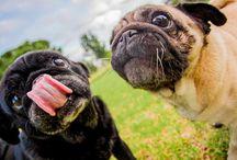 Pugs + Weddings