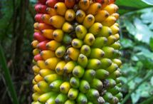Banana Tree / for any of banana fruits or banana tree.like bunch of banana, green banana old and young banana.