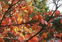 가을 감나무