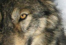 Vlci(Wolf)