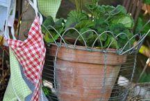 geraniums (sardunya)