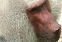 Macaco babuíno