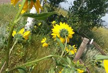 Sunflowers on the Ranch.