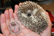 Hedgehogs!!!!  / by Kathleen