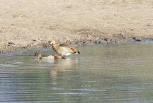 La vie Animale dans le Parc National Kruger / En #Afriquedusud