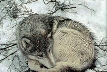 Lupi-Wolves