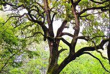 Öreg fák.
