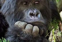 monkeys and gorillas