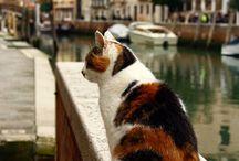 Gatti di venezia