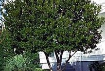Evergreen Trees for Small Garden