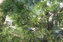 Pine Trees / Folium pX flagship product is made from all natural pine parts and other natural ingredients.