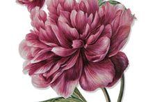 ◆ Encyclopedia ◆ / #gravure #botanic