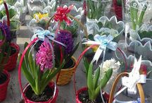 Find a HyaCint / Where and how we will find hyacinthus.....??