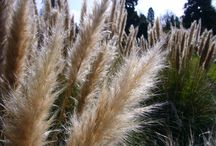 Ornamental Grasses / Ornamental Grasses have become increasingly popular in gardens in recent years. They bring striking lots of texture, color, and motion to a garden yearlong.