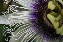 Kwiaty(passiflora)