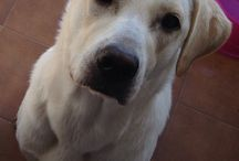 Mi labradora Berta / Os presento a mi preciosa labradora Berta.