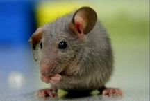 Mice Control Apopka / Best methods of getting rid of Mice Control Apopka infestations in the attic and basement of your Apopka home, contact Apopka Critter Control in your area for professional and effective services.