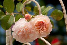 Mal di rose