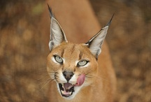 Cats >^.^< Caracal / cats / by Debbie Beals