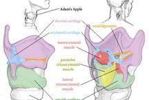Anatomía ap. bucofonador / Anatomía y fisiología del aparato bucofonador y respiratorio